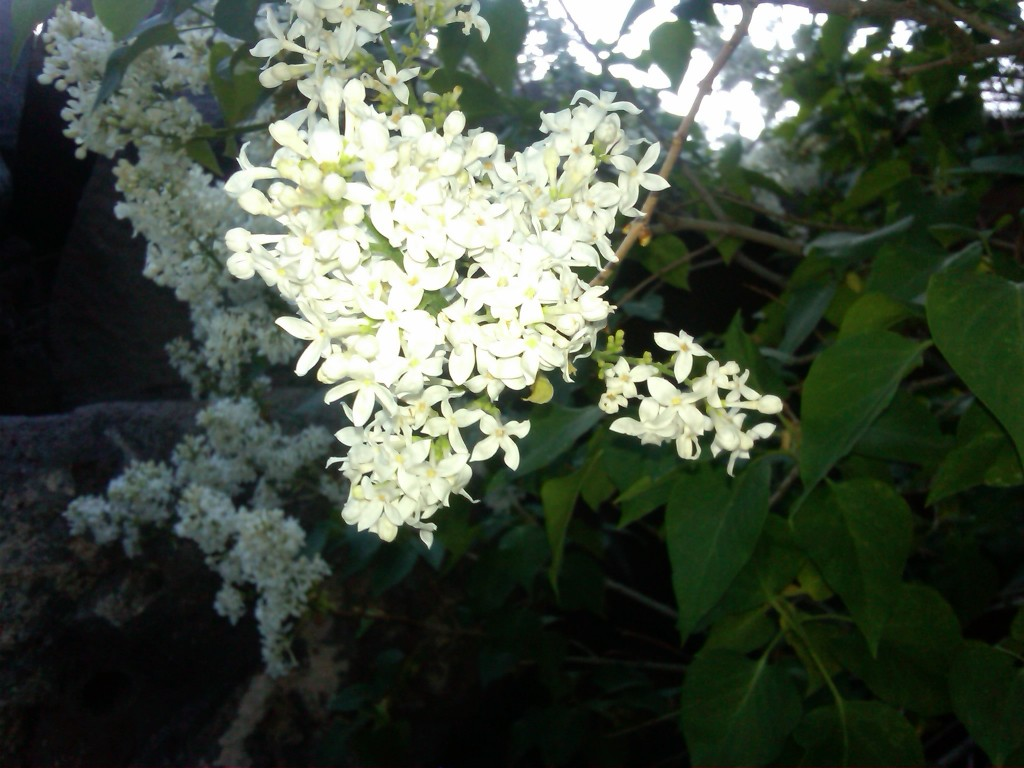 Lilac blossom in Switzer Canyon, 2012.